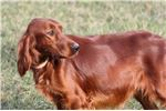 Picture of Adult Female Irish Setter in Madison,IN (rehoming)