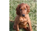 Picture of an Irish Setter Puppy