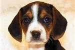 Featured Breeder of Beagles with Puppies For Sale