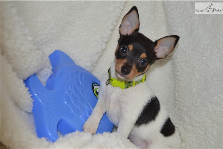 Trout: Fox Terrier, Toy puppy for sale near North
