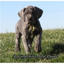 View full profile for Rolling Hills Blue Danes