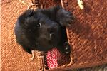 Picture of Lovely Female Belgian Sheepdog Puppy