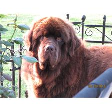 View full profile for Addabear Newfoundlands