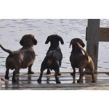 View full profile for Fig Forest Dachshunds