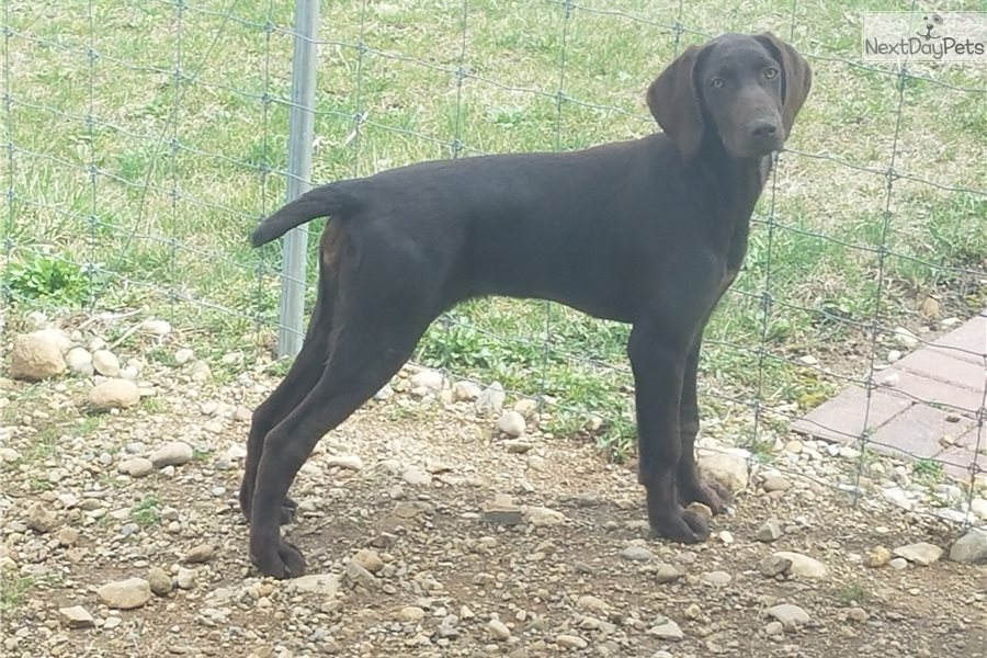 German Shorthaired Pointer Puppy For Sale Near Columbus Ohio