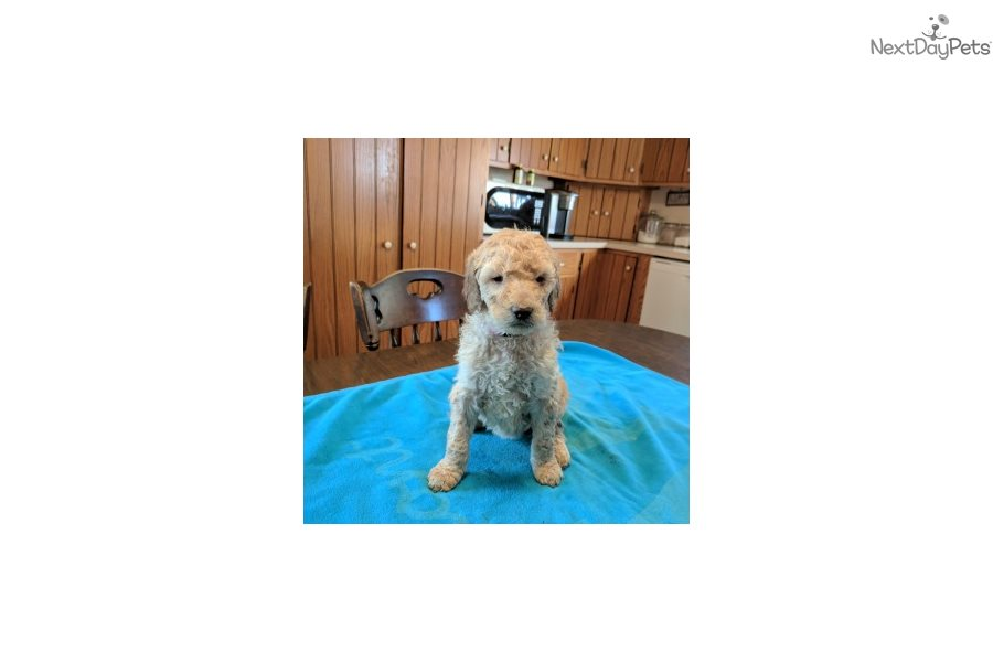 Olivia Goldendoodle Puppy For Sale Near Lancaster