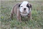 Picture of AKC English Bulldog