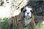 Picture of AKC-Kaleb
