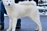 Picture of Japanese Akita - Akita inu - white female