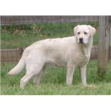 View full profile for Misty Morning Labradors