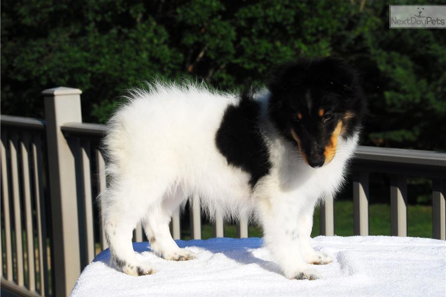 Meet Blizzard A Cute Shetland Sheepdog Sheltie Puppy For