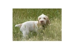 Picture of a Spinone Italiano Puppy