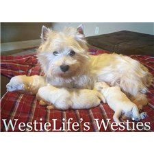 View full profile for Westielife's Westies