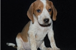 Picture of a Beagle Puppy