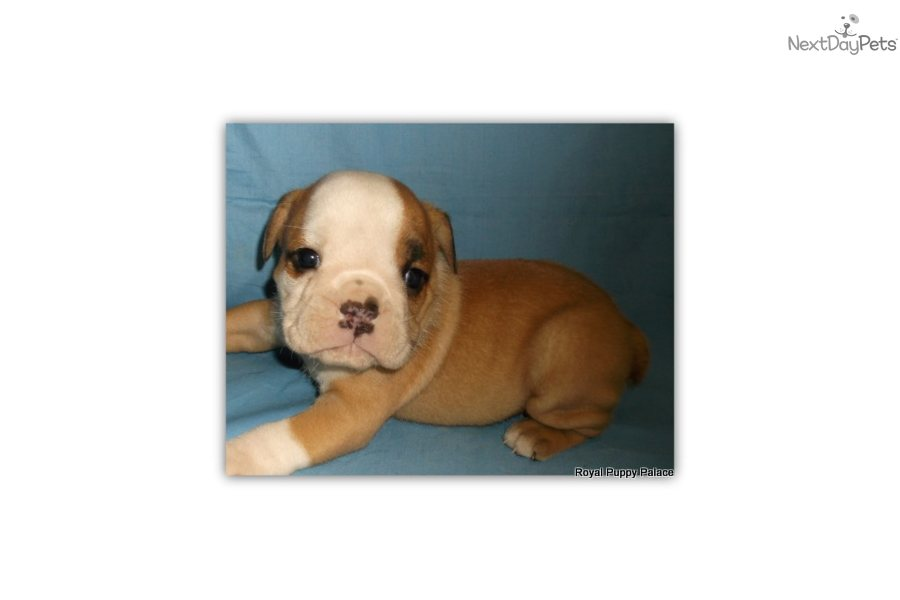 english bulldog puppies for sale in bay area english bulldog puppy for sale near ta bay area 3432