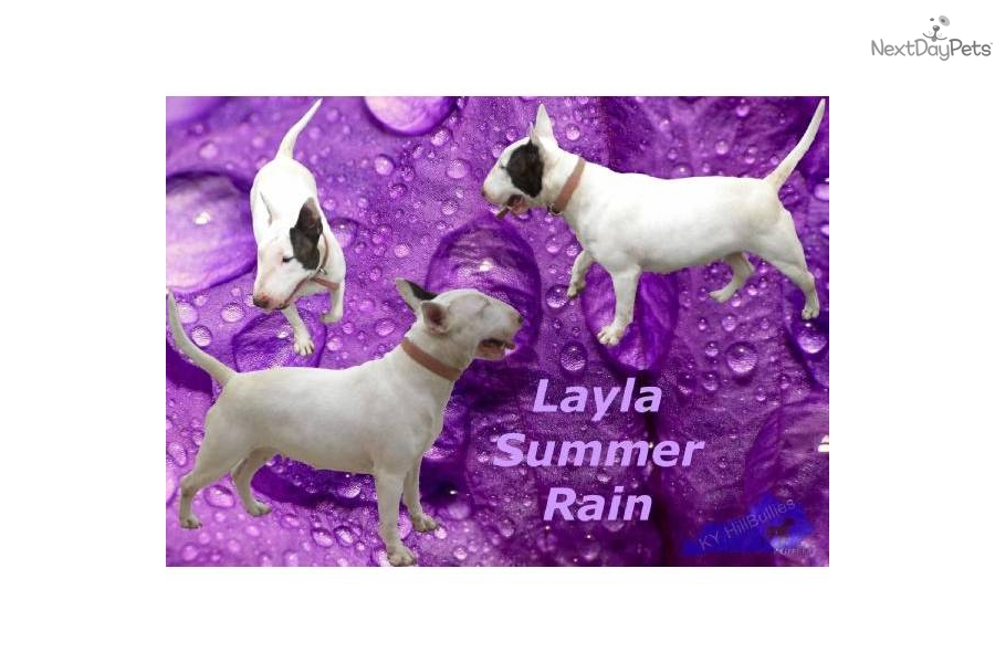 Puppies for Sale from Ky Hillbullies Akc Bull Terrier Breeders Of