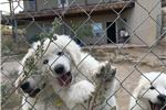 Picture of Hungarian Kuvasz Puppy - Male