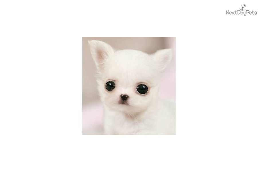 White Teacup Chiwawa Puppies | www.imgkid.com - The Image ...