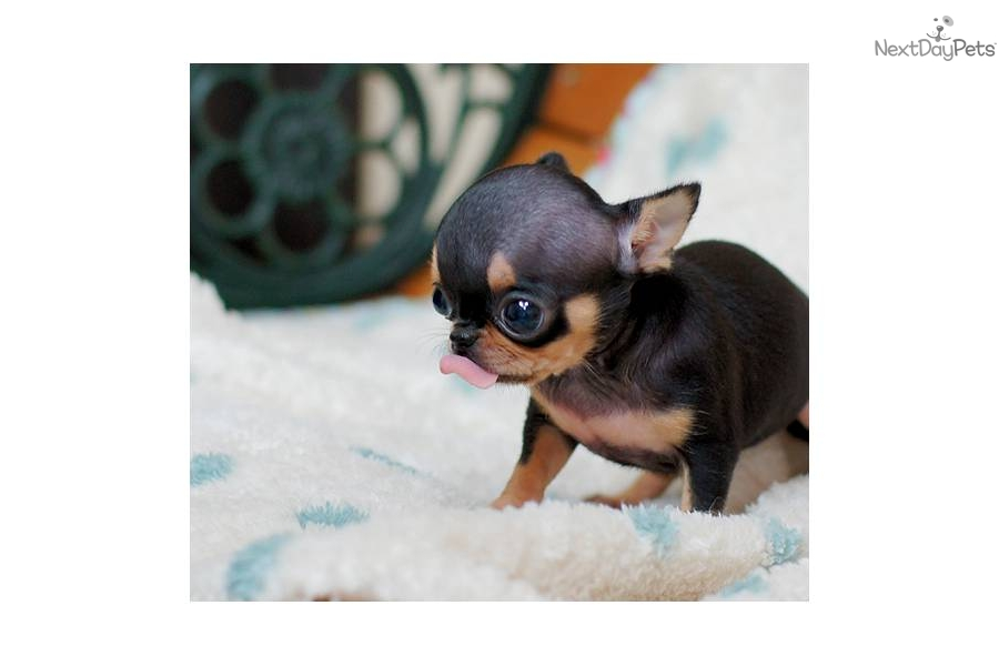 Micro Pocket Teacup Chihuahua - 0425