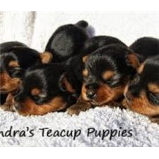 View full profile for Sandra's teacup-puppies