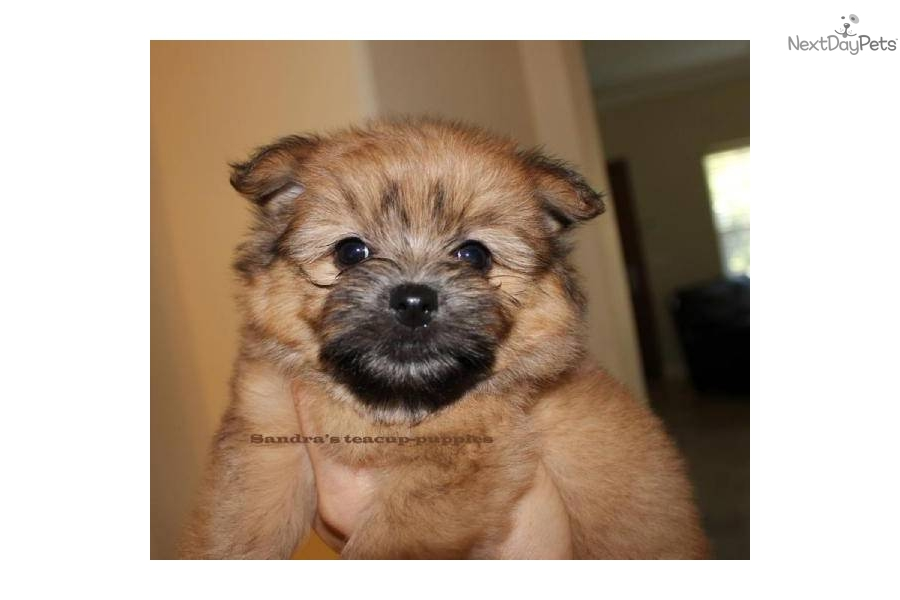 Puppies for Sale from Sandra's Teacup Puppies - Member since July 2011