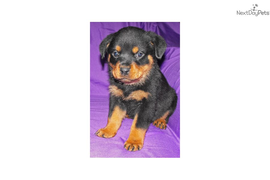 Rottweiler Puppy For Sale Near Springfield Missouri Ec1dff07 08f1