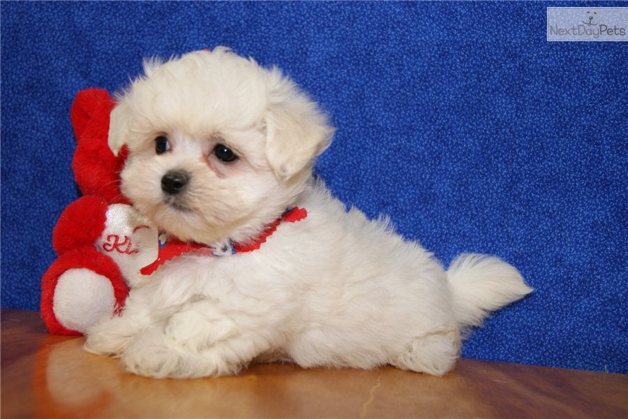 Meet KANDY a cute Maltese puppy for sale for $800 ...