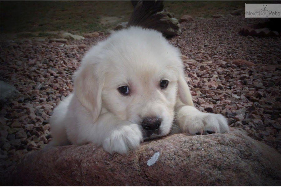 golden retriever puppies denver colorado has it all english golden retriever puppy for sale near 6220
