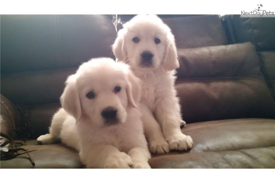 golden retriever puppies denver colorado has it all english golden retriever puppy for sale near 766