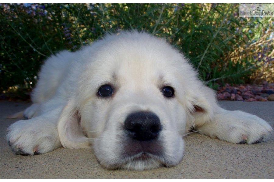 golden retriever puppies denver colorado has it all golden retriever puppy for sale near denver 6498