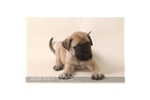 Featured Breeder of Mastiffs with Puppies For Sale