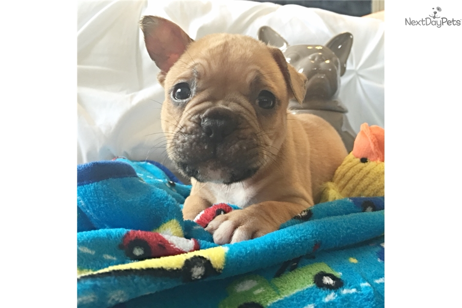 french bulldog pups for sale houston tx buck french bulldog puppy for sale near houston texas 3255