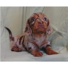 View full profile for Arkoma Basset Hounds, Pugs, Yorkies and Mini Dachshunds