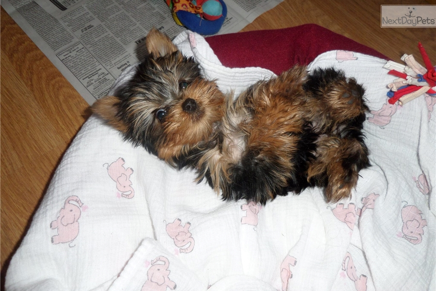 Yorkshire Terrier Yorkie Puppy For Sale Near Fayetteville