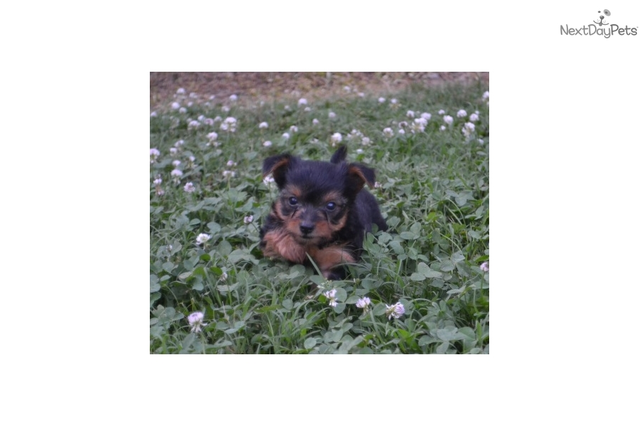 Sunny Yorkshire Terrier Yorkie Puppy For Sale Near Fayetteville