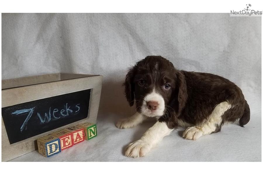 Dean: English Springer Spaniel puppy for sale near Boise