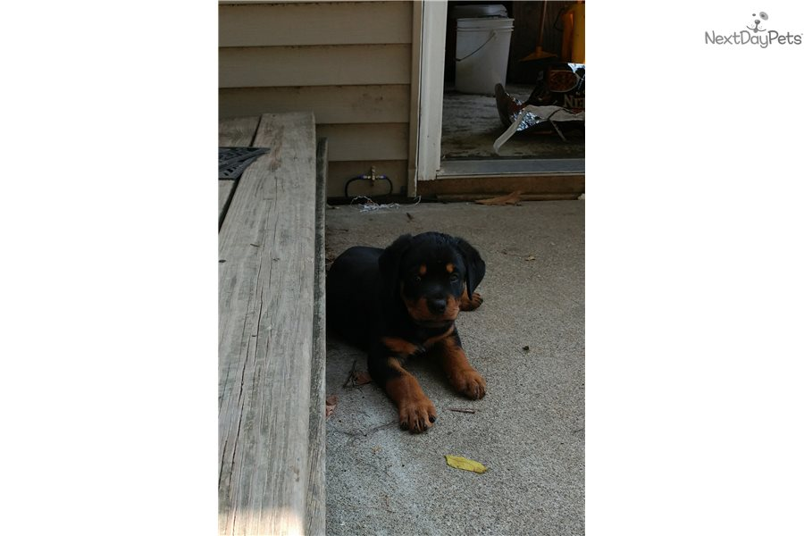 Armoured Vehicles Latin America ⁓ These Rottweiler Puppies For Sale