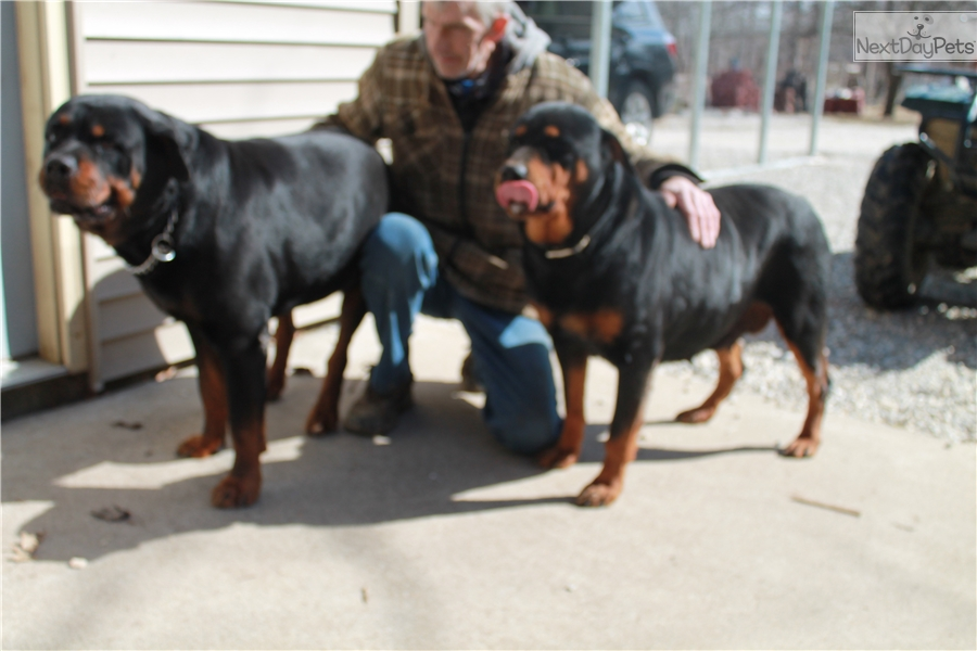 Stormy Girl 1 Rottweiler Puppy For Sale Near Lafayette West