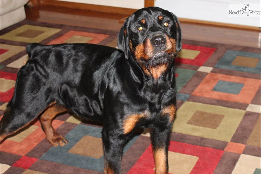 Rottweiler Puppy For Sale Near Lafayette West Lafayette Indiana