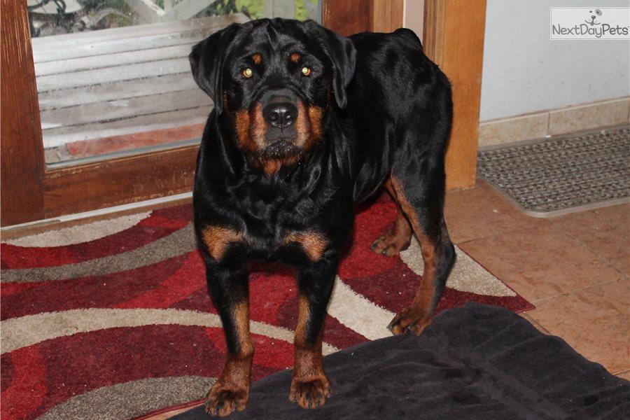 Ziva Rottweiler Puppy For Sale Near Lafayette West Lafayette