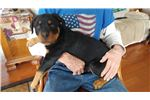 Picture of AKC Rottweiler puppy