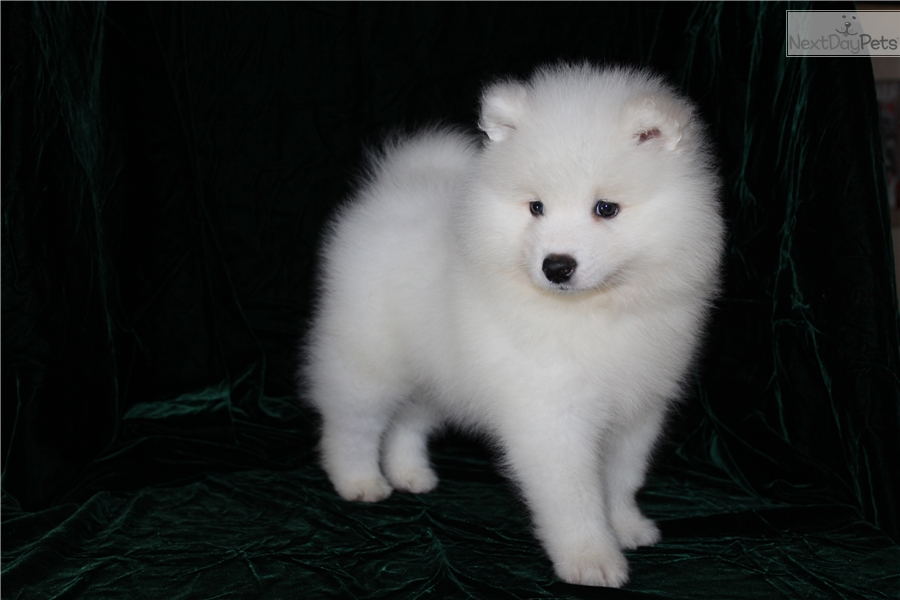Angus Samoyed Puppy For Sale Near Tampa Bay Area Florida