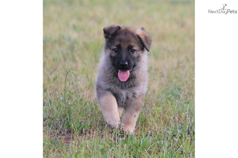Silver German Shepherd Puppies | www.imgkid.com - The ...