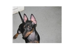 Picture of a Toy Manchester Terrier Puppy