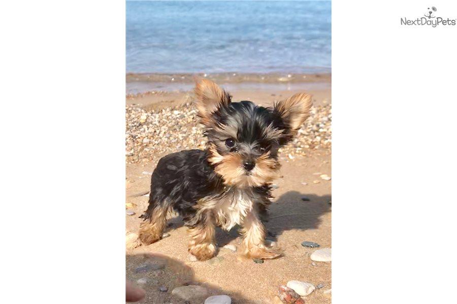 Yorkshire Terrier Yorkie Puppy For Sale Near Northern Michigan