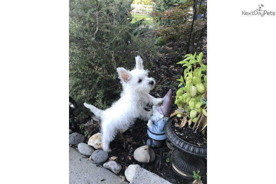 West Highland White Terrier - Westie puppy for sale near San