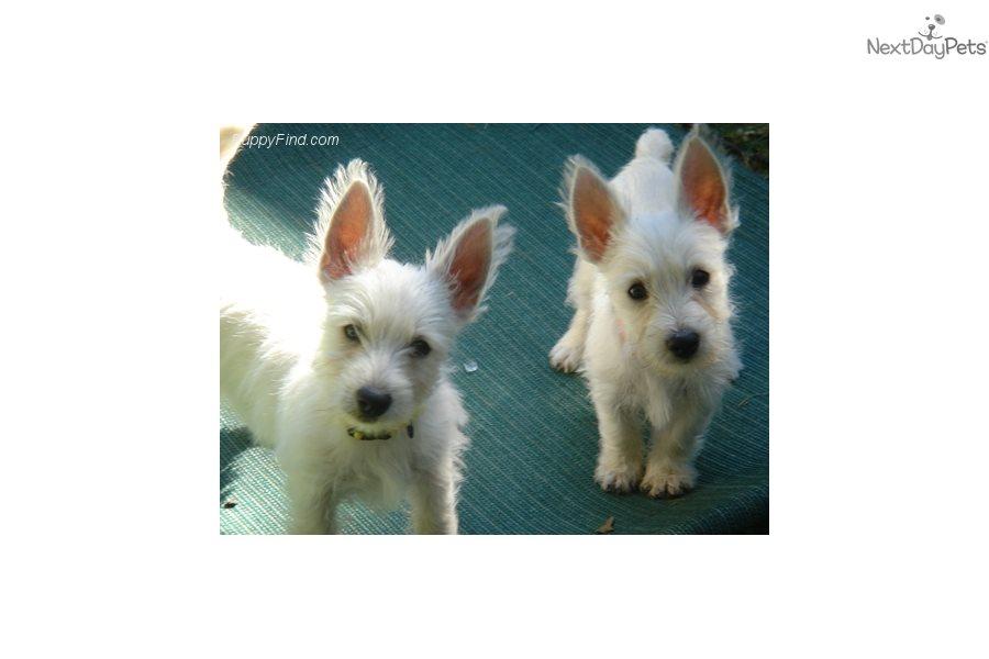 Westie Dogs For Sale In California