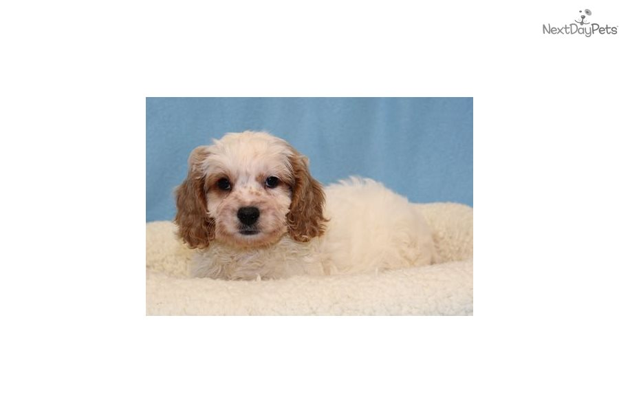 Male #1: Cavapoo puppy for sale near Minneapolis / St Paul
