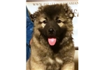 Picture of a Caucasian Mountain Dog Puppy