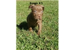 Picture of american pit bull red nose female # 5